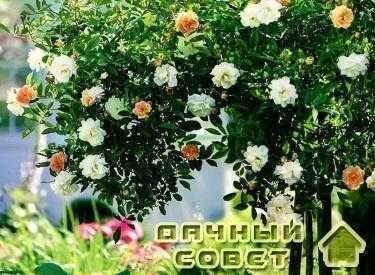 Розы: холим и лелеем 4