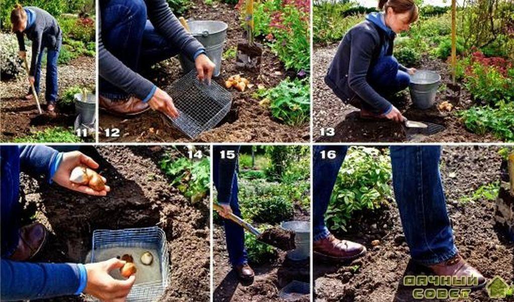 Надежная броня для луковиц тюльпанов 3