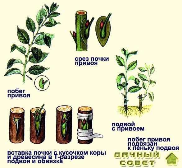 Черенкование и прививки плодовых растений 1