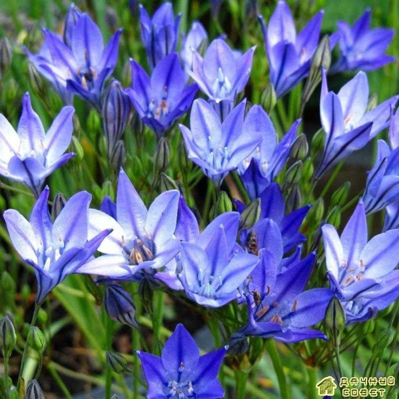 'Blue Queen' — фарфорово-синий