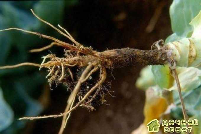 Черная ножка у капусты