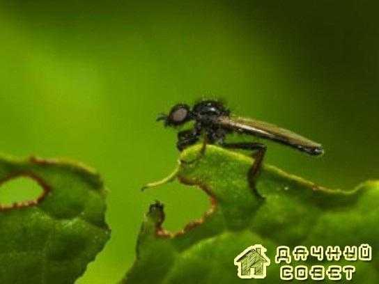 Чесночная муха