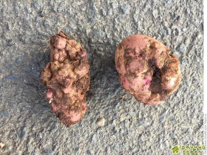 Деформация клубней картофеля