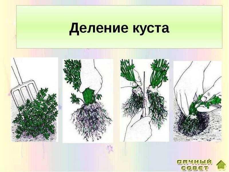 Деление корневищ,кустов и клубнелуковиц