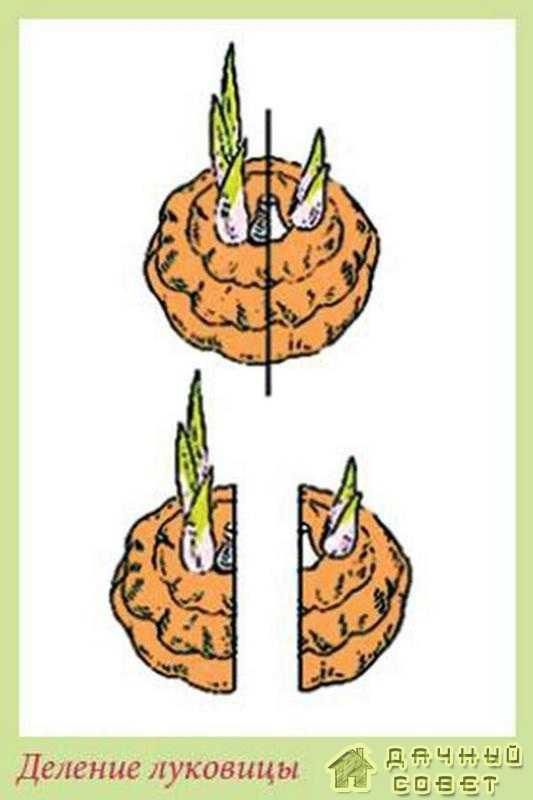 Деление луковиц