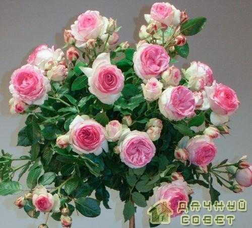 'Eden Rose' роза