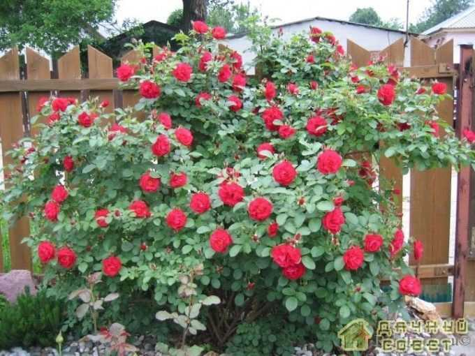 'Hansaland' роза