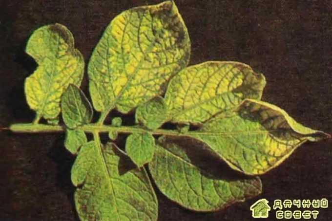 Хлороз листьев картофеля