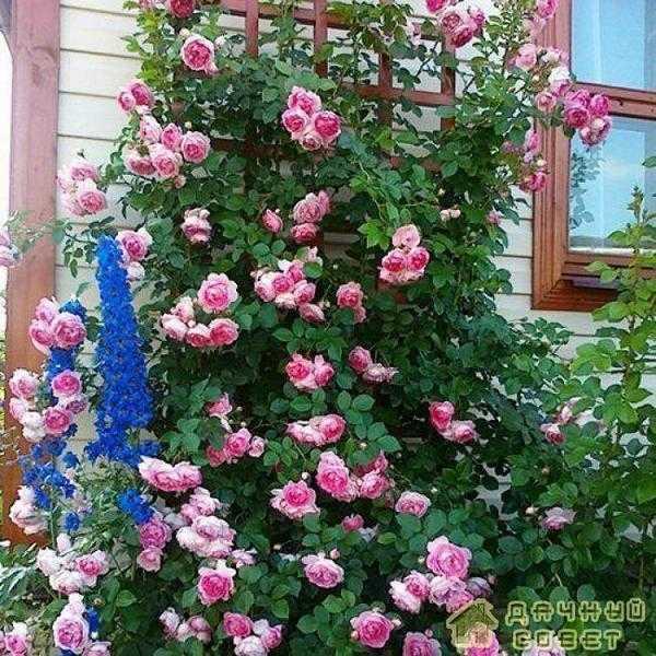 'Jasmina' роза