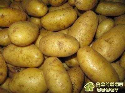 Картофель Агрия