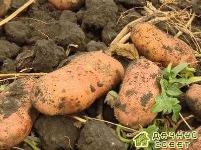 Картофель Роза