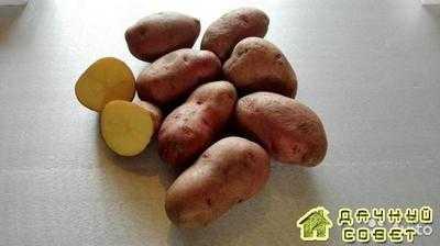 Картофель Розана