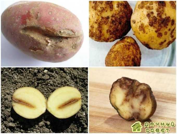 Картофельные нематоды