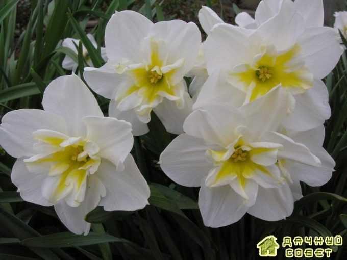 'Lemon Beauty' нарцисс