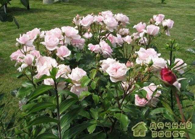 'Petit Trianon' роза