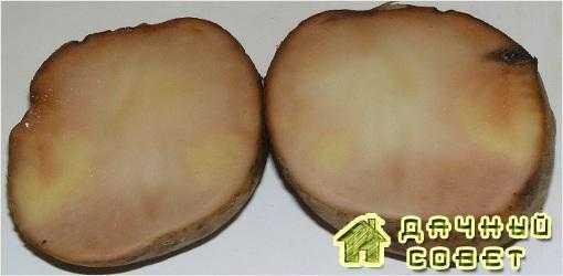 Подмораживание клубней картофеля