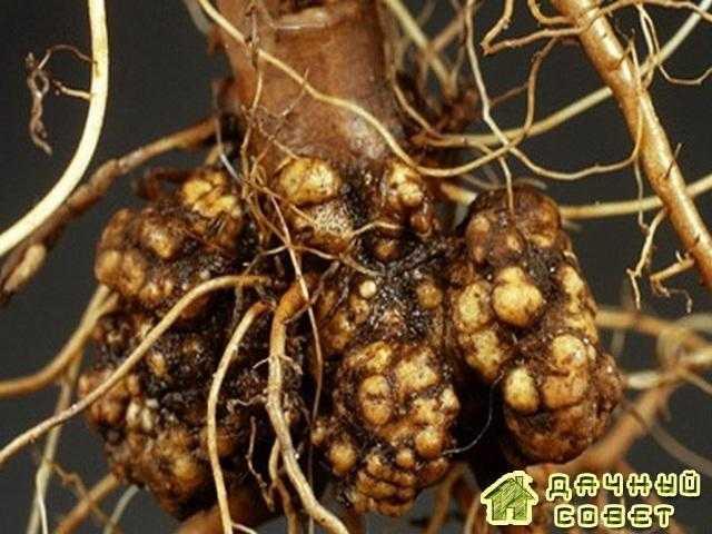 Потемнение сосудистой системы корня картофеля