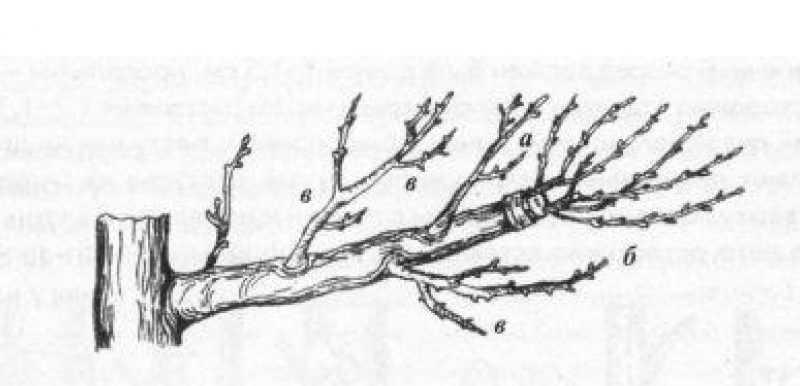 Привитые черенки (а,б) и поросль старого сорта (в) при большой длине ветви