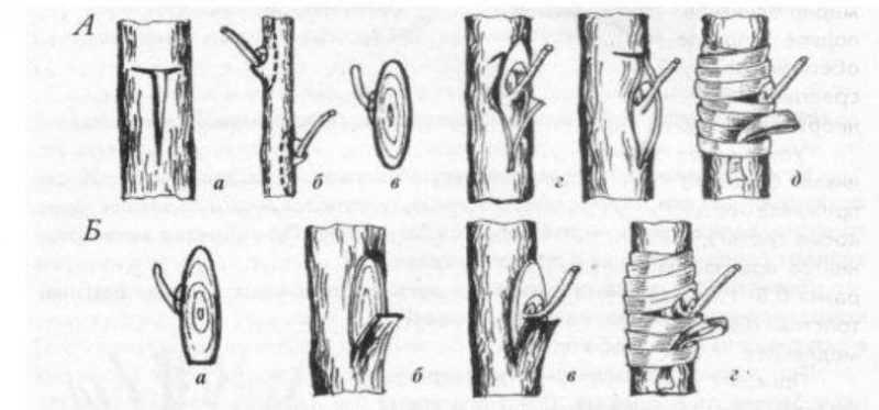 Прививка в Т-обра шый разрез (А)