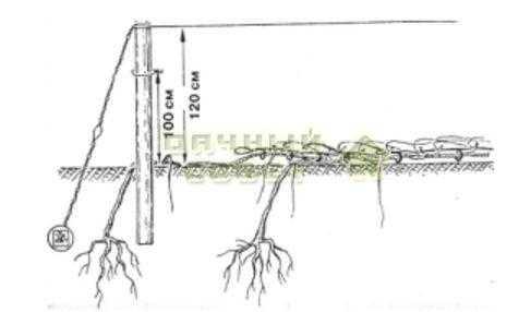 Рис. 17. Кусты, уложенные к укрытию