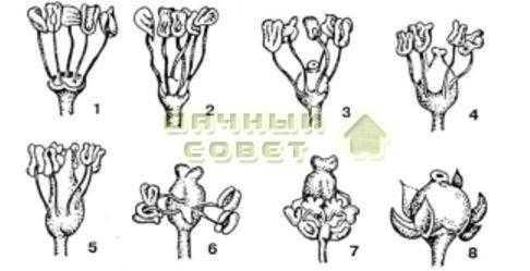 Рис. 5. Типы цветков винограда: 1,2.3 —мужские;4.5—обоеполые; 6.7 — функционально женские; 8 — женские