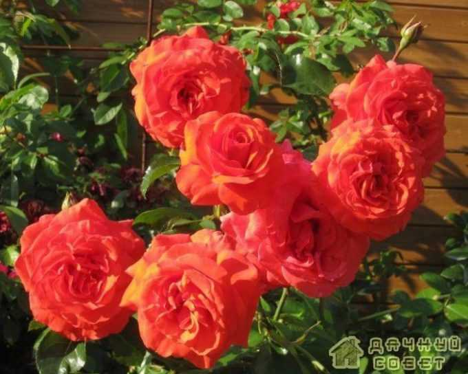 'Salita' роза