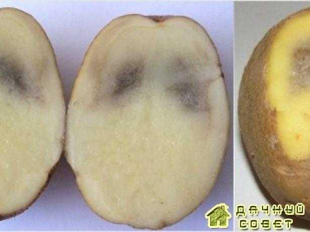 Серая пятнистость картофеля