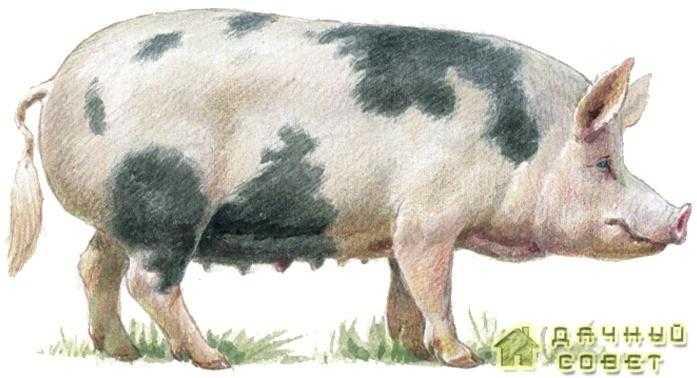 Северокавказская порода свиней