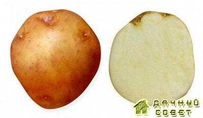 Сорт картофеля Лазарь
