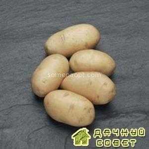 Сорт картофеля Приобский