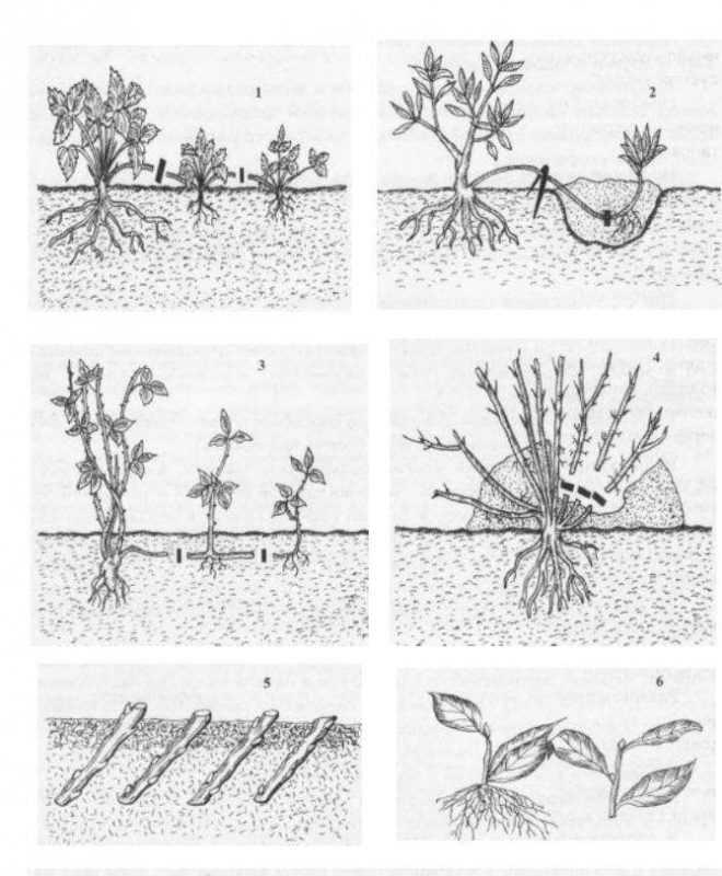 Способы размножения корнесобственных растений: 1 усачи; 2— 4—дуговидными, горизонтальными и вертикальными отводками; 5 одревесневшими черенками; 6 — зелеными черенками