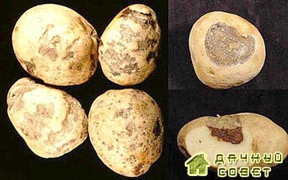 Ямчатая гниль картофеля