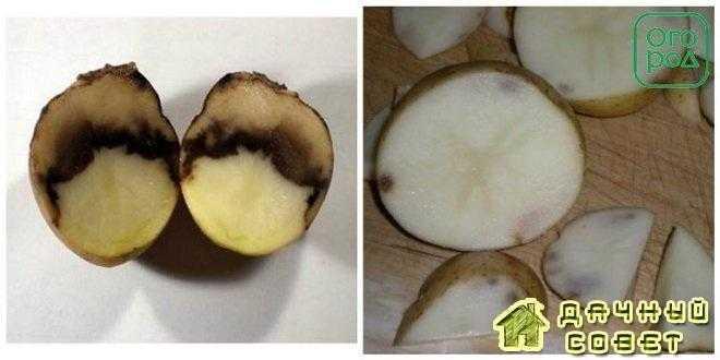 Железистая пятнистость, или ржавость клубней картофеля