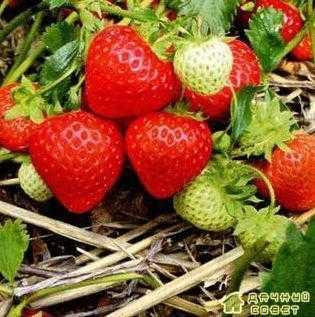 Земляника садовая(Fragaria ananassa) Другие названия :клубника, виктория, земляника ананасная, земляника,земляника крупноцветковая