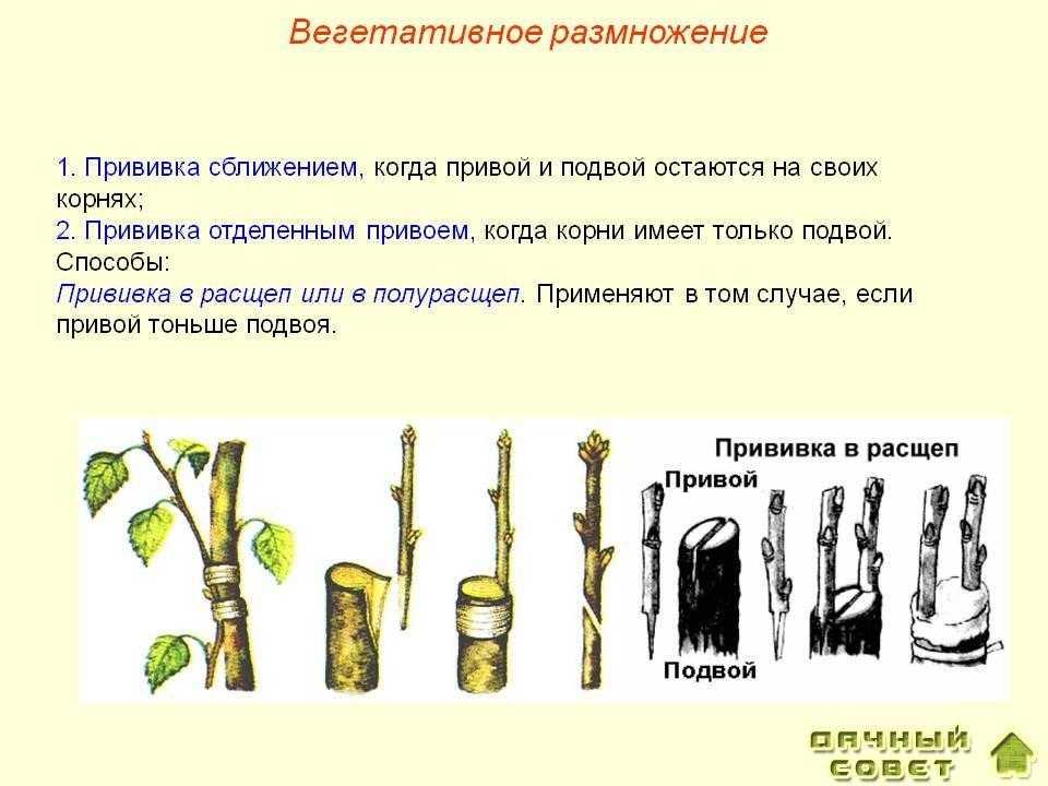 Черенкование и прививки плодовых растений 2