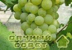 "Сорт винограда ""Донецкий жемчуг"""