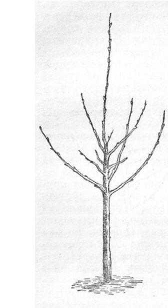 Двухлетка яблони, сформированная по мутивчато-ярусной схеме