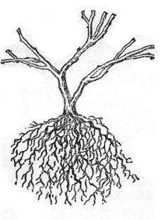 Двухлетний саженей крыжовника с обрезанными ветвями и корнями» подготовленный для посадки в сад на постоянное место