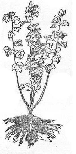 Куст смородины,выращеный из черенка