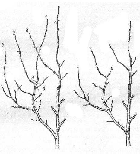 Обрезка на боковую ветвь:проводник скелетной ветки / подрезан на боковую ветку 2 в пункте а; ветка 5 укорочена; ветки 2, 3 и 4 соподчинены центральному проводнику