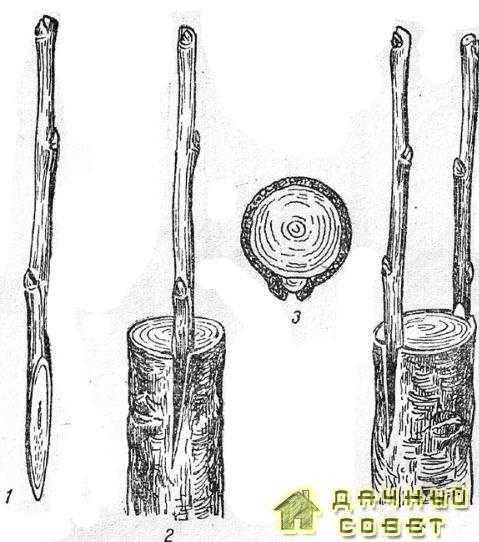 Обыкновенная прививка за кору7 — черенок, подготовленный для прививки; 2— черенок, вставленный за хору; 3—подвой с привитым черенком в поперечном разрезе; 4 — прививка двумя черенками