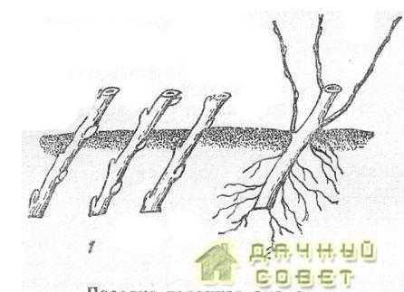 Посадка черенков смородины1 — посаженные черенки; 2 — укоренившийся черенок