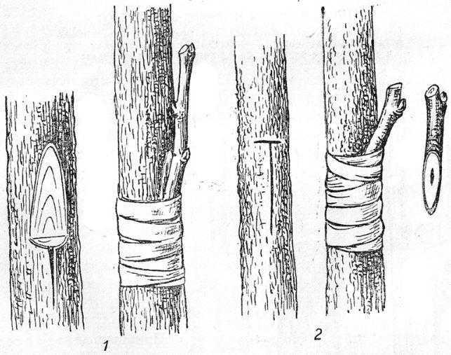 Прививка черенком за кору с оставлением шипаI — с подрезом древесины; 2 — в Т-образный надрез коры черенком с одной почкой