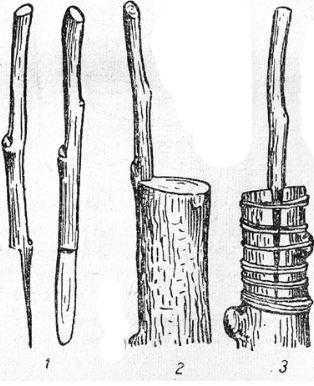 Прививка за кору седлом1 — черенки (вид сбоку и спереди); 2 — черенок, вставленный за кору подвоя; 3 — место прививки после обвязки