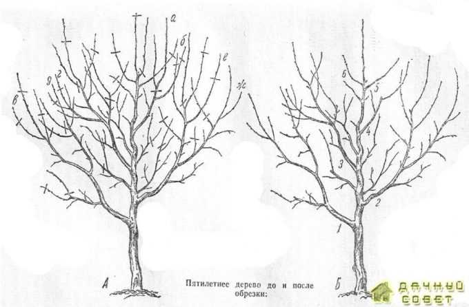 Пятилетнее дерево до обрезки:А — дерево ветки до обрезки (черточками показаны места обрезки); дерево после обрезки; ветка а в, г, О, е и ж — второго порядка, остальные ветки — обрастающие; ветки /, 2, 3, 4, 5 н переведена на боковую ветку б; 6 соподчинены проводнику