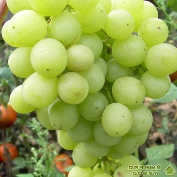 """Сорт винограда """"Русмол"""""""