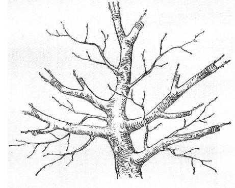 Схема перепрививки кроны плодоносящего дерева черенками за кору с оставлением неиривитых ветвей