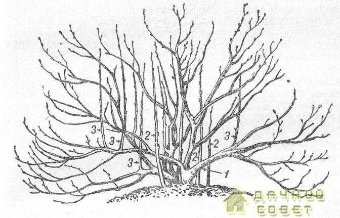 Схема строения куста черной смородины1-многолетние скелетные ветки; 2 — однолетние прикорневые ветки; 3 — однолетние почковые ветки