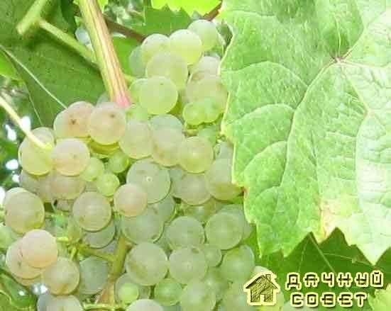 """Сорт винограда """"Душистый"""""""