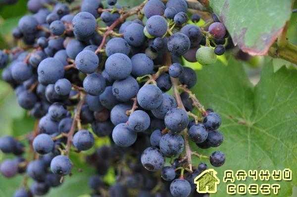 Сорт винограда «Фиолетовый ранний» (выведен Я. И. Потапенко и Е. И. За-